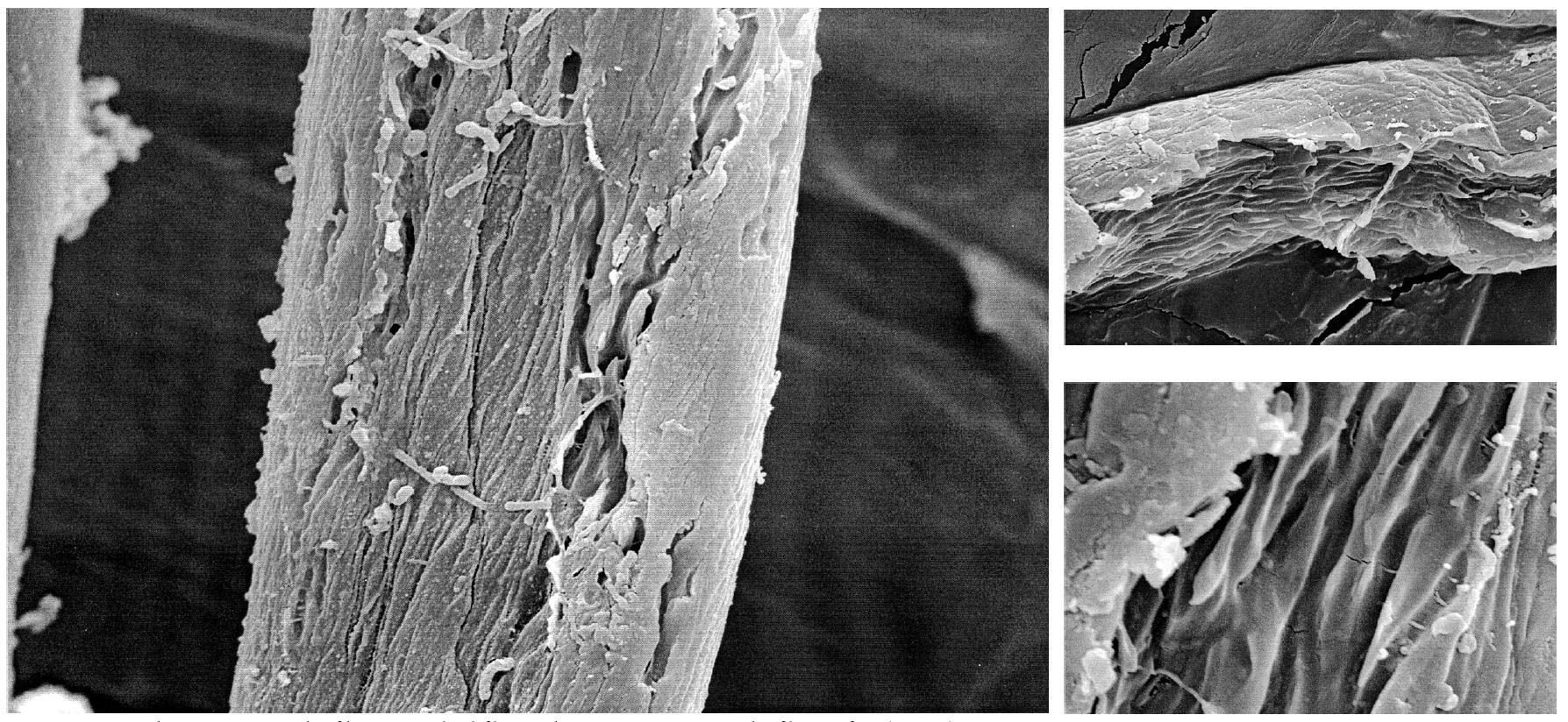 algodón al microscopio