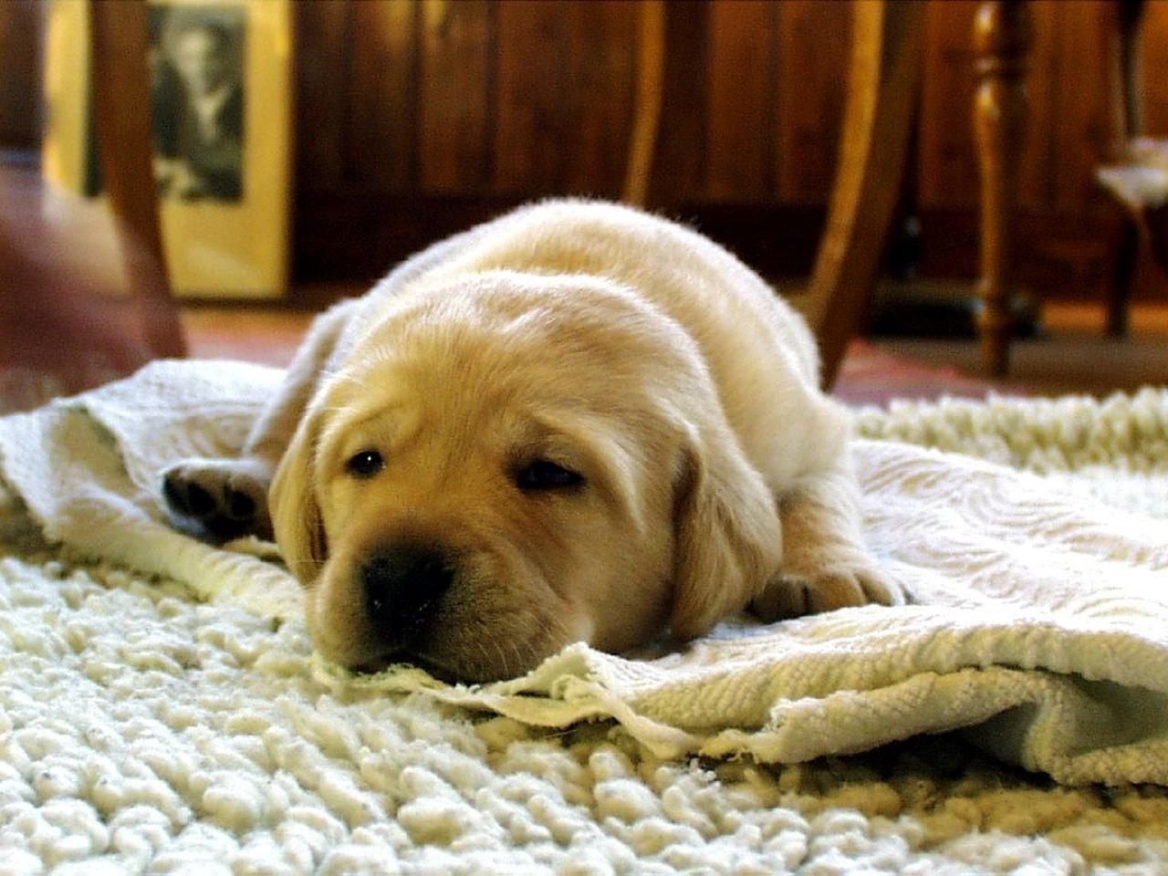 perro y alfombra pelos