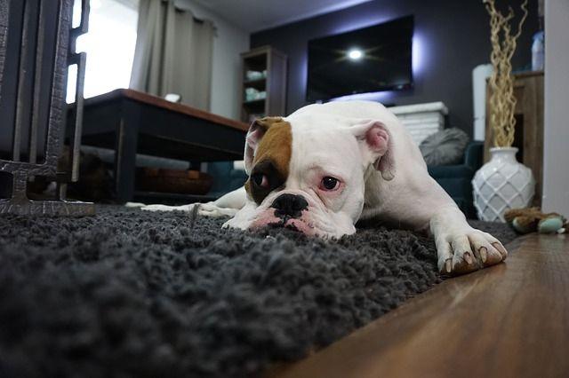 limpiar alfombras mascota